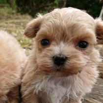 ミックス犬(母マルチーズ、父プードル)