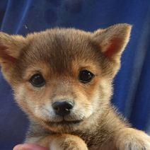 柴犬(豆しばサイズ)